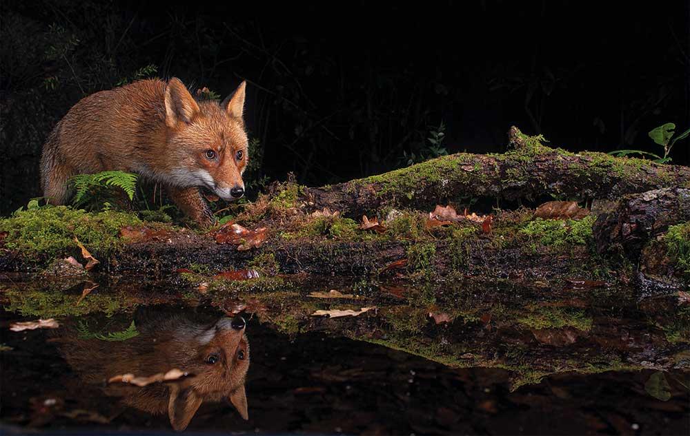 raposa-vulpes-vulpes-rio-este